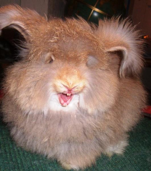 مجموعة صور7belk الأرنب الشعر الكثيف2013,تقرير الأرنب الانجورا الأغرب 3910013433.jpg