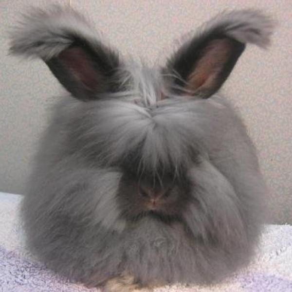 مجموعة صور7belk الأرنب الشعر الكثيف2013,تقرير الأرنب الانجورا الأغرب 3910013434.jpg