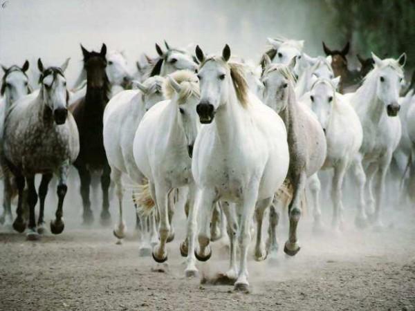 تقريرمصوّر الخيول العربية الأصيلة,صور ومعلومات الخيول العربية2014, معلومات 3910014051.jpg