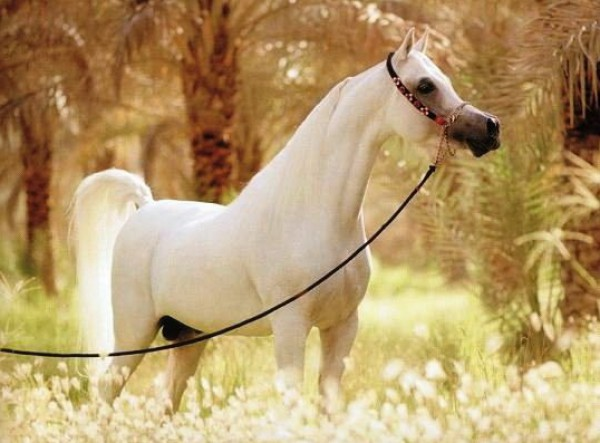 تقريرمصوّر الخيول العربية الأصيلة,صور ومعلومات الخيول العربية2014, معلومات 3910014053.jpg