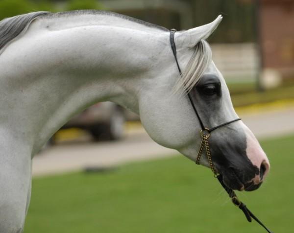تقريرمصوّر الخيول العربية الأصيلة,صور ومعلومات الخيول العربية2014, معلومات 3910014054.jpg