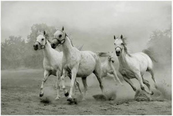 تقريرمصوّر الخيول العربية الأصيلة,صور ومعلومات الخيول العربية2014, معلومات 3910014055.jpg