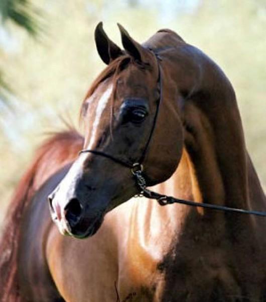تقريرمصوّر الخيول العربية الأصيلة,صور ومعلومات الخيول العربية2014, معلومات 3910014057.jpg