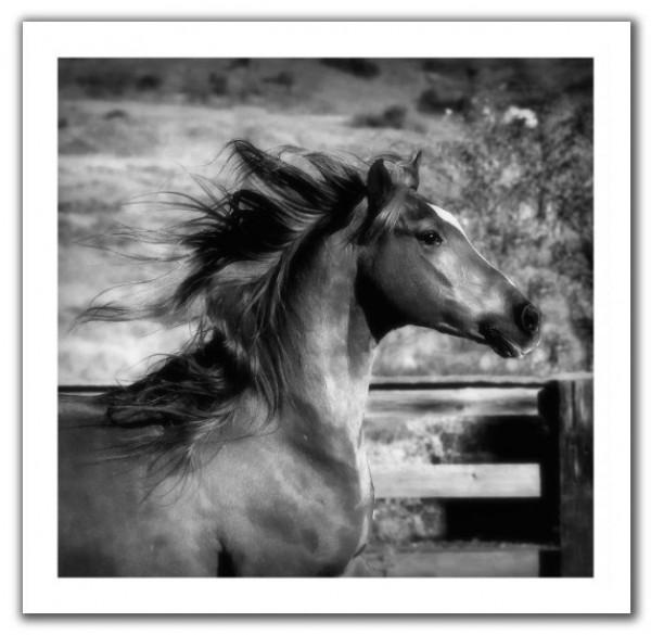 تقريرمصوّر الخيول العربية الأصيلة,صور ومعلومات الخيول العربية2014, معلومات 3910014059.jpg