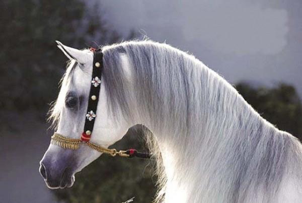 تقريرمصوّر الخيول العربية الأصيلة,صور ومعلومات الخيول العربية2014, معلومات 3910014060.jpg