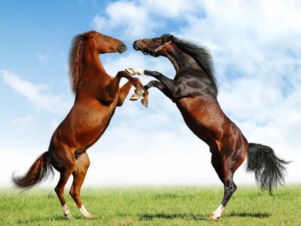 تقريرمصوّر الخيول العربية الأصيلة,صور ومعلومات الخيول العربية2014, معلومات 3910014061.jpg