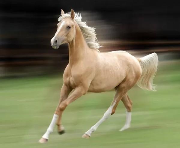 تقريرمصوّر الخيول العربية الأصيلة,صور ومعلومات الخيول العربية2014, معلومات 3910014063.jpg