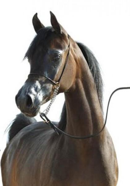 تقريرمصوّر الخيول العربية الأصيلة,صور ومعلومات الخيول العربية2014, معلومات 3910014064.jpg