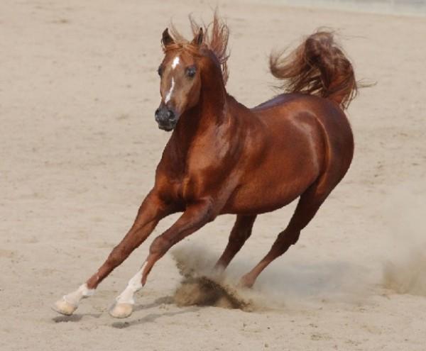 تقريرمصوّر الخيول العربية الأصيلة,صور ومعلومات الخيول العربية2014, معلومات 3910014065.jpg