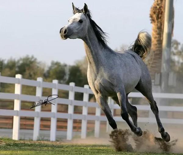 تقريرمصوّر الخيول العربية الأصيلة,صور ومعلومات الخيول العربية2014, معلومات 3910014066.jpg