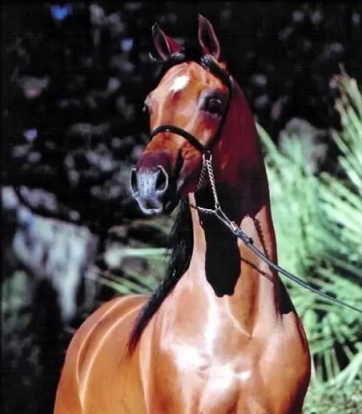 تقريرمصوّر الخيول العربية الأصيلة,صور ومعلومات الخيول العربية2014, معلومات 3910014068.jpg