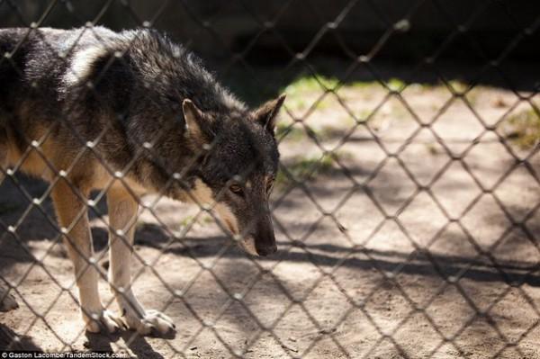 الحيوانات الأسيرة وراء القضبان 2013, لحيوانات حزينة وحائرة 3910024096.jpg