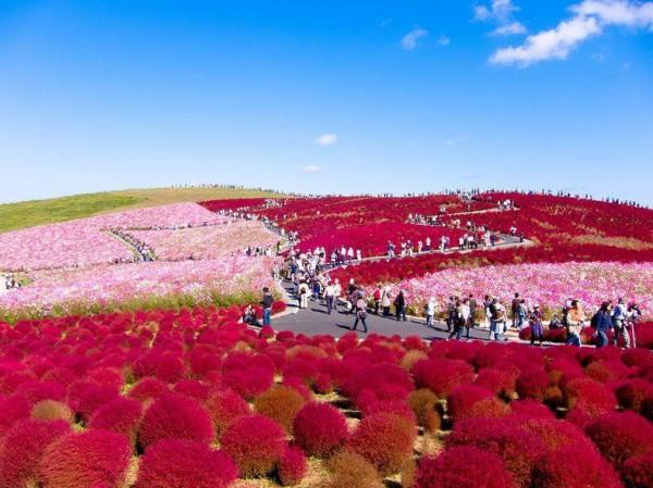 نتيجة بحث الصور عن حدائق هيتاشي في اليابان