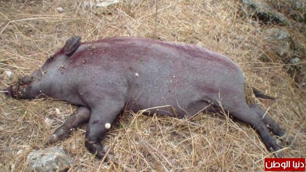ارتفاع عدد ضحايا أنفلونزا الخنازير إلى 17 شخصاً بالبحيرة