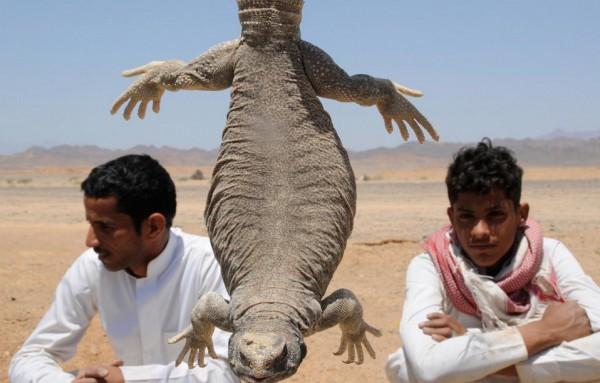 صيد الضب في السعودية