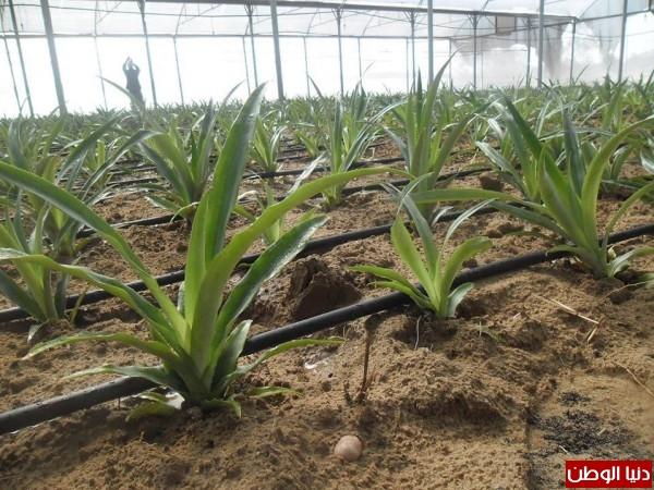 لأول تنجح بزراعة الأناناس