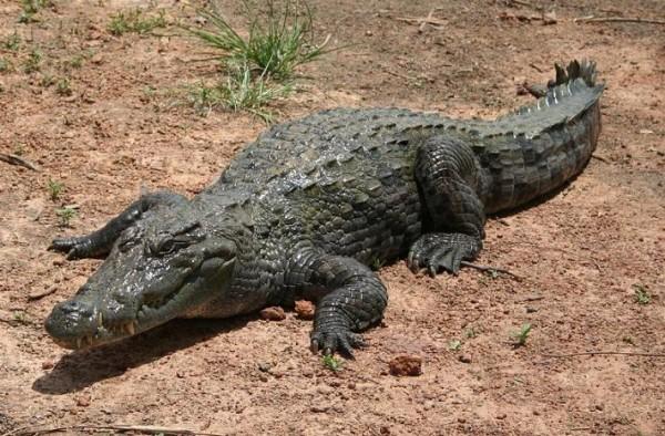 حكم أكل التمساح موضوع
