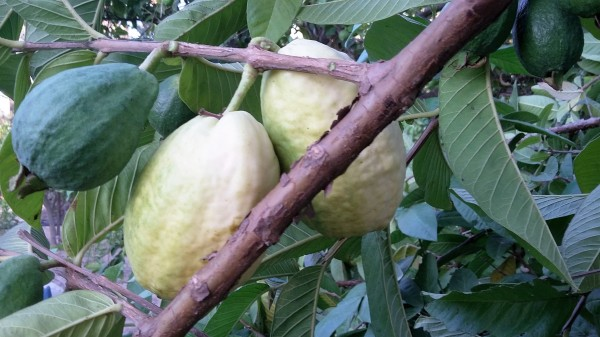 نضوج ثمار الجوافة اللحظة الأولى