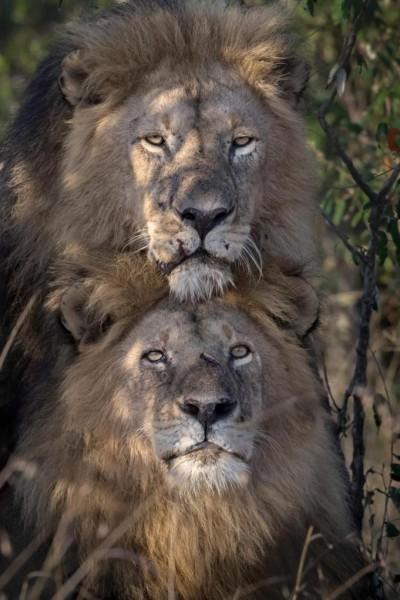 أسدان الذكور تزاوج يتسبب بضجة 3910848080.jpg