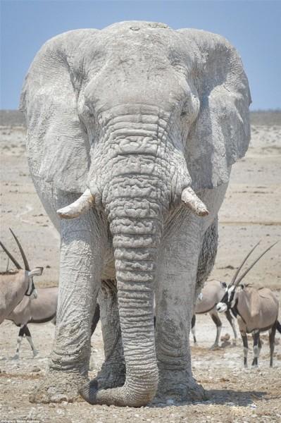 مُذهل .. فيلة تحمي أجسامها من الشمس بقناعها الخاص 3910862338