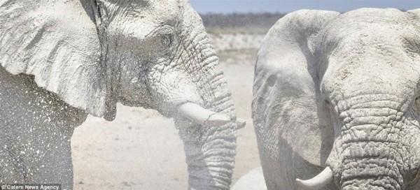 مُذهل .. فيلة تحمي أجسامها من الشمس بقناعها الخاص 3910862343