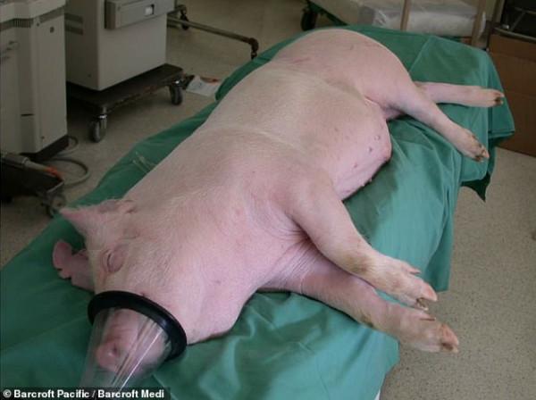 نقلة طبية.. أعضاء الخنازير صالحة لأجساد البشر