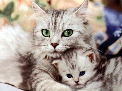 لماذا يزأر الأسد ويموء القط