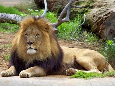 تزاوج الاسود في حديقة الحيوانات بالقاهرة يكلف 150 مليون جنيه سنويا