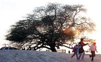 شجرة الحياة في البحرين تكشف سر بقائها بدون ماء لأكثر من 400 عام