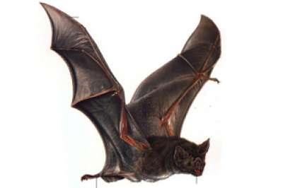 لعاب الخفاش مصاص الدماء يعالج الجلطات