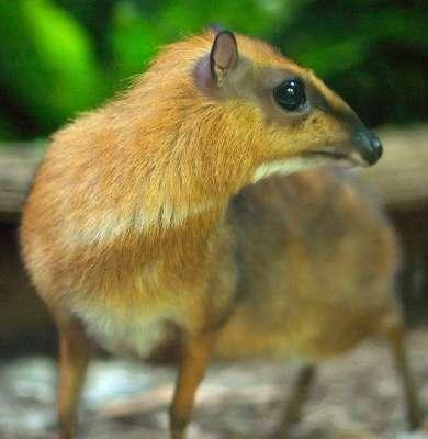 الفأر الغزال حيوان غريب بالصور