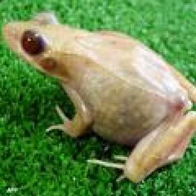 مبيد للأعشاب يحول الضفادع الذكور 9998315665.jpg