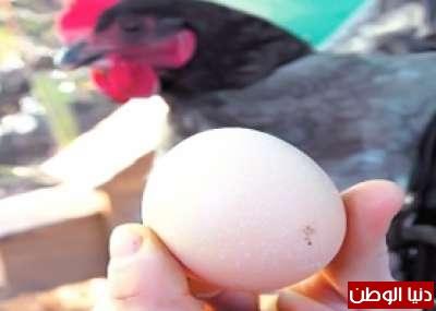الدجاجة المعجزة تبيض بيضاً يتنبأ 9998318298.jpg