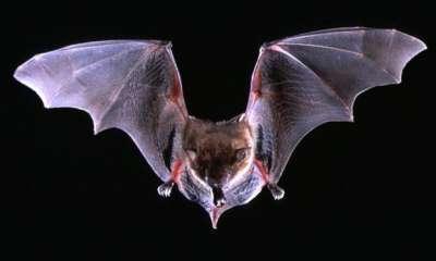 انفلونزا الخفافيش 9998319662.jpg