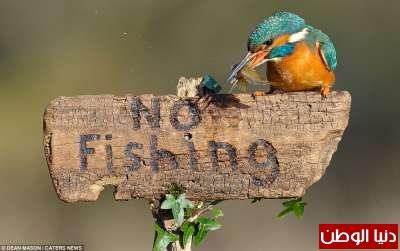 طائر يصطاد سمكة ويقف متحدياً فوق لافتة ممنوع الصيد... صور 9998322070