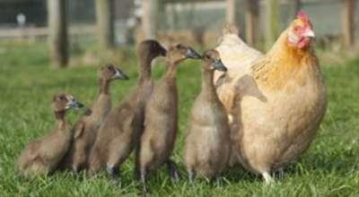 """الدجاجة """"هيلدا """"صدمت وجدت أولادها"""