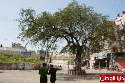 بالصور.. شجرة السدرة العجيبة في غزة:عمرها الف سنة وتشفي كل الامراض وكل من يحاول اقتلاعها يتعرض للأذى