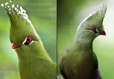 صور رائعة لطائر التوراكو