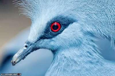 الحمامة الزرقاء المتوّجة