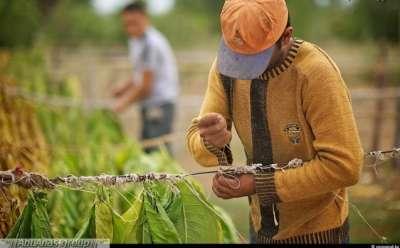 مزارع التبغ في كازاخستان