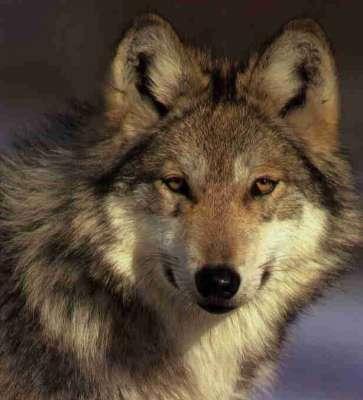 معلومات مثيرة عن الذئب