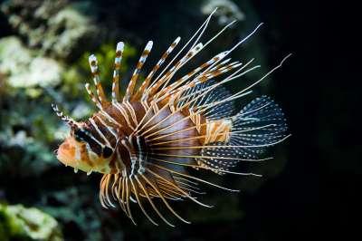 سمكة ديك البحر 9998334036.jpg