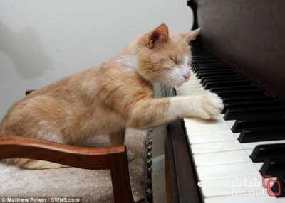 بالصور.. قط بريطاني كفيف عمرة 6 اعوام يعزف البيانو وسمي ستيفي وندر على اسم عازف شهير