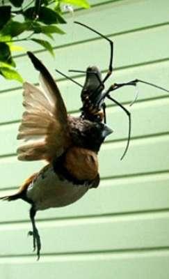 عنكبوت يصطاد عصفور