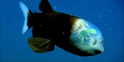 السمكة الرأس الشفاف
