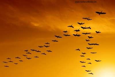 لماذا تهاجر الطيور على شكل حرف v 9998345154.jpg