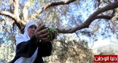 """صور.. موسم جني """"الزيتون"""" في غزة"""