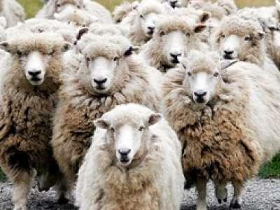 """""""خروف"""" يفوز بمسابقة لجمال """"المواشي"""" في باكستان 9998347809.jpg"""