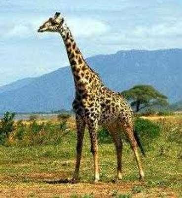 الزرافة.. المخلوق الذي أذهل عقول العلماء 9998351026.jpg