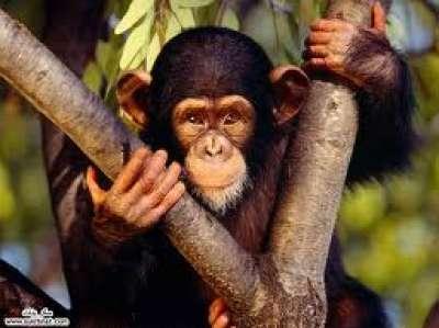 الشِــــــمْـبــــانــــز ِي.. نوع القردة العليا الافريقية 9998351656.jpg